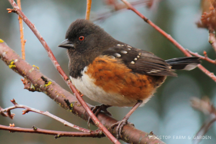 Ridgetop Farm and Garden   2017 Great Backyard Bird Count   GBBC   Spotted Towhee