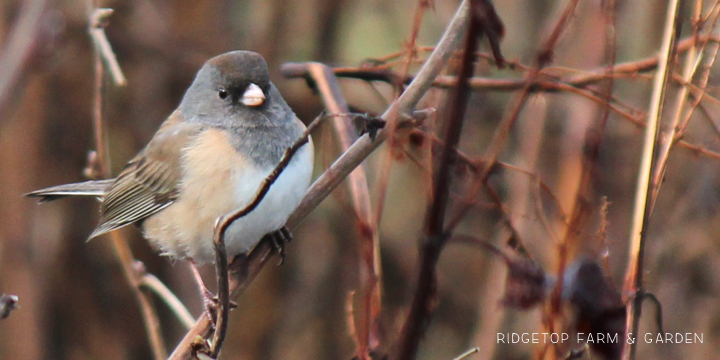 Ridgetop Farm and Garden   2017 Great Backyard Bird Count   GBBC   Dark-eyed Junco