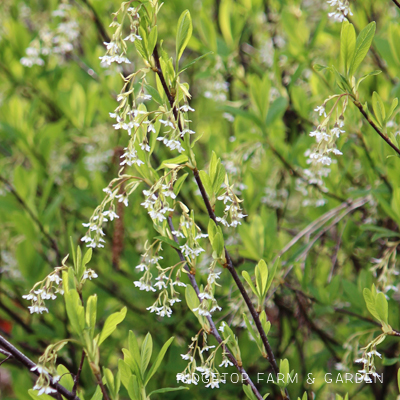 Pacific NW Plants: Indian Plum