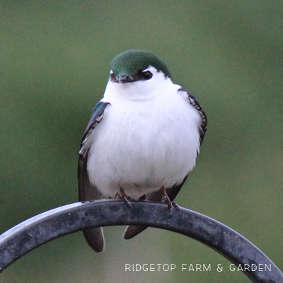 Birds 'round Here: Violet-Green Swallow