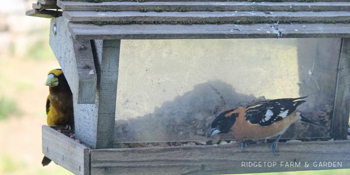 Ridgetop Farm and Garden   Evening Grosbeak   Black-headed Grosbeak
