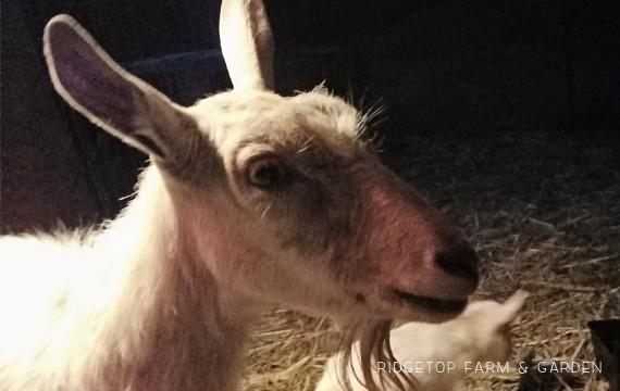 Ridgetop Farm and Garden | Nigerian Dwarf Goats | Our First Kidding