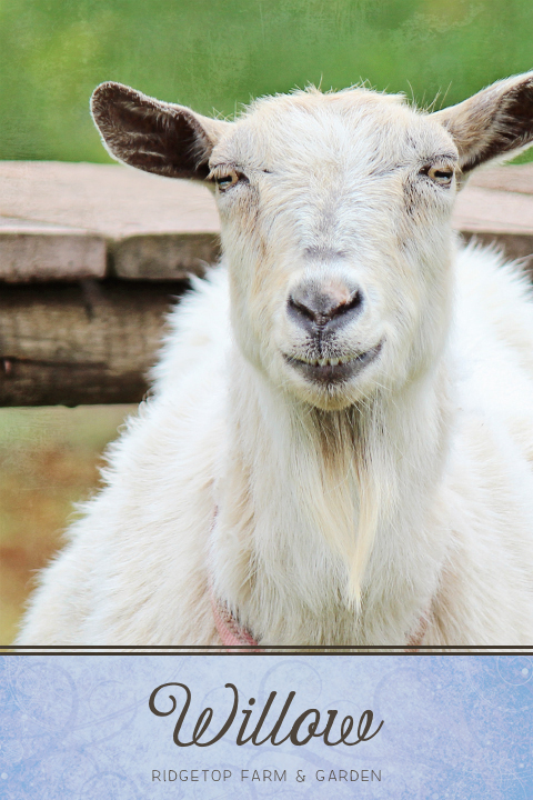 Ridgetop Farm and Garden | Our Goat Herd | Nigerian Dwarf Goat | KK Snowd'N Edith | Willow