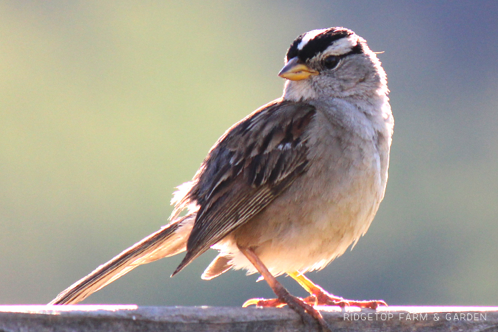 Ridgetop Farm and Garden | Birds 'Round Here | White-crowned Sparrow