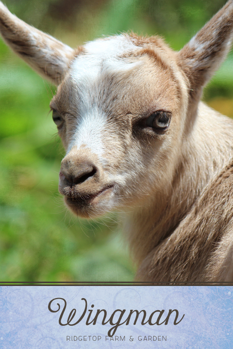 Ridgetop Farm and Garden | Nigerian Dwarf Goat | Our Herd | Wingman