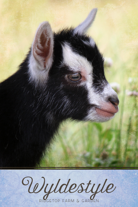 Ridgetop Farm and Garden | Nigerian Dwarf Goat | Our Herd | WyldeStyle