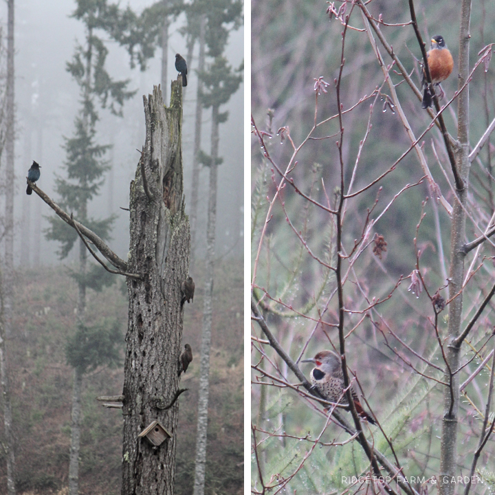 Ridgetop Farm and Garden | Pacific NW Birds | Northern Flicker
