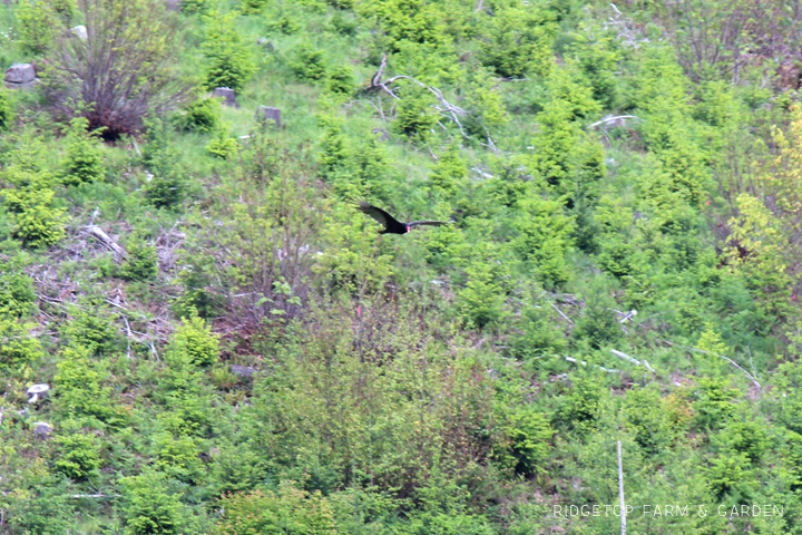 Ridgetop Farm and Garden | Pacific NW Birds | Turkey Vulture