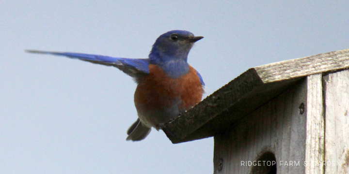Ridgetop Farm and Garden | Pacific NW Birds | Western Bluebird
