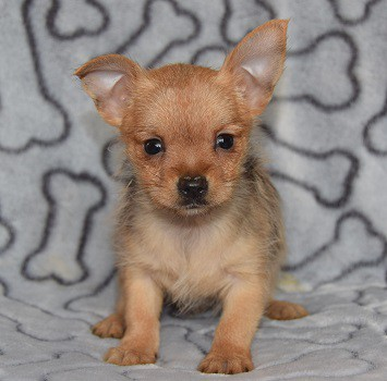 Yorkie Mix Puppies For Sale in PA   Yorkie Mixed Puppy ...