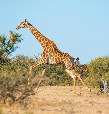 Horseback safari, riding with giraffe