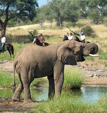 Horse safari riding with elephant