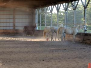 Three white and one brown horse