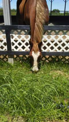 brown horse with white blaze eating grass over a fence
