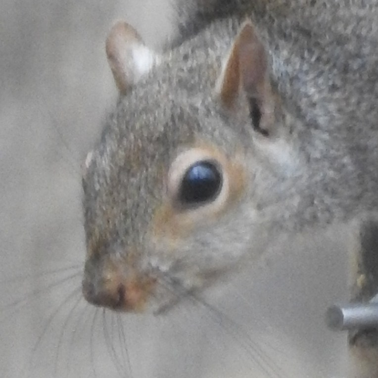 face-of-a-squirrel.800