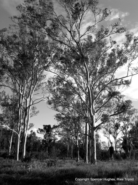 Trees. Mary Valley in Australia