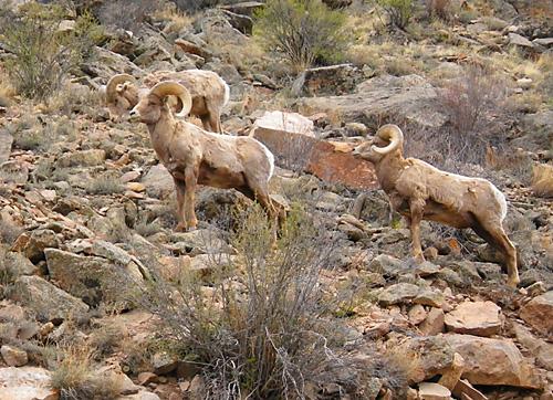 Rocky Mountain Big Horn Sheep