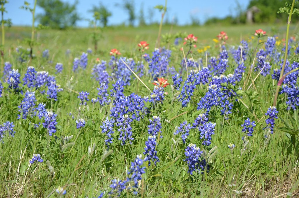Bluebonnets are mixed with orange flowers