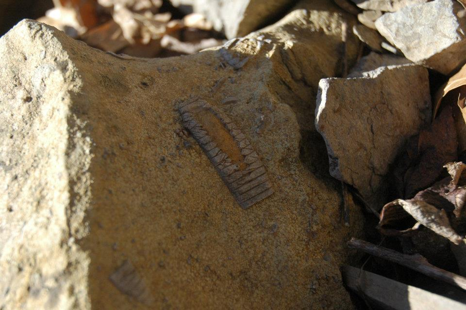 A fossil is shown in the Ozark National Forest