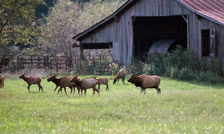 Elk graze in a field at the Buffalo National River. I observed these animals from the safety of my vehicle, which is good Leave No Trace Principle 6 – Respect Wildlife