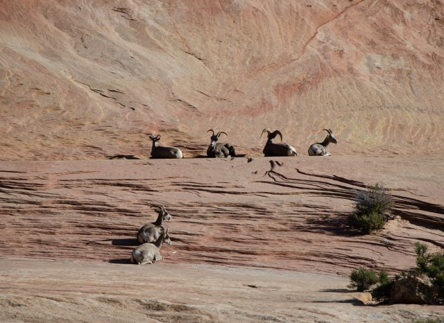 Big Horn Sheep are shown at Zion National Park
