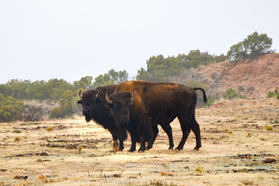 bison roam freely at Caprock Canyons State Park