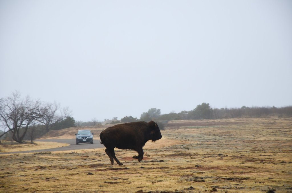 A bison runs at Caprock Canyons State Park in the Texas Panhandle