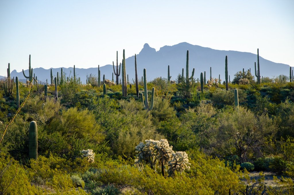 Mountains rise up behind saguaro cacti at Organ Pipe Cactus National Monument