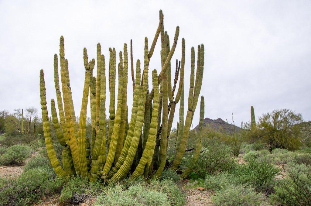 An Organ Pipe Cactus is shown