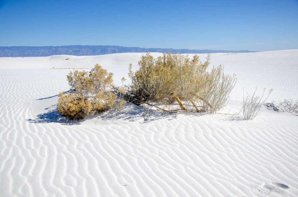 Vegetation is shown at White Sands National Park