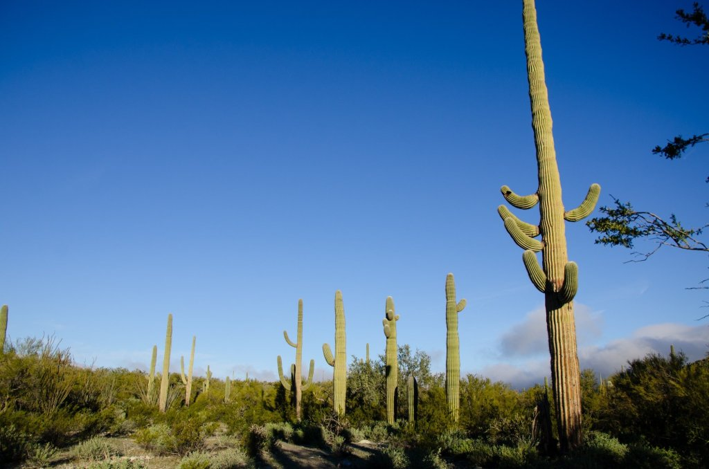 saguaro are shown