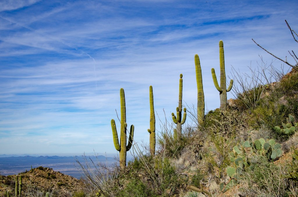 Saguaros are shown on Wasson Peak