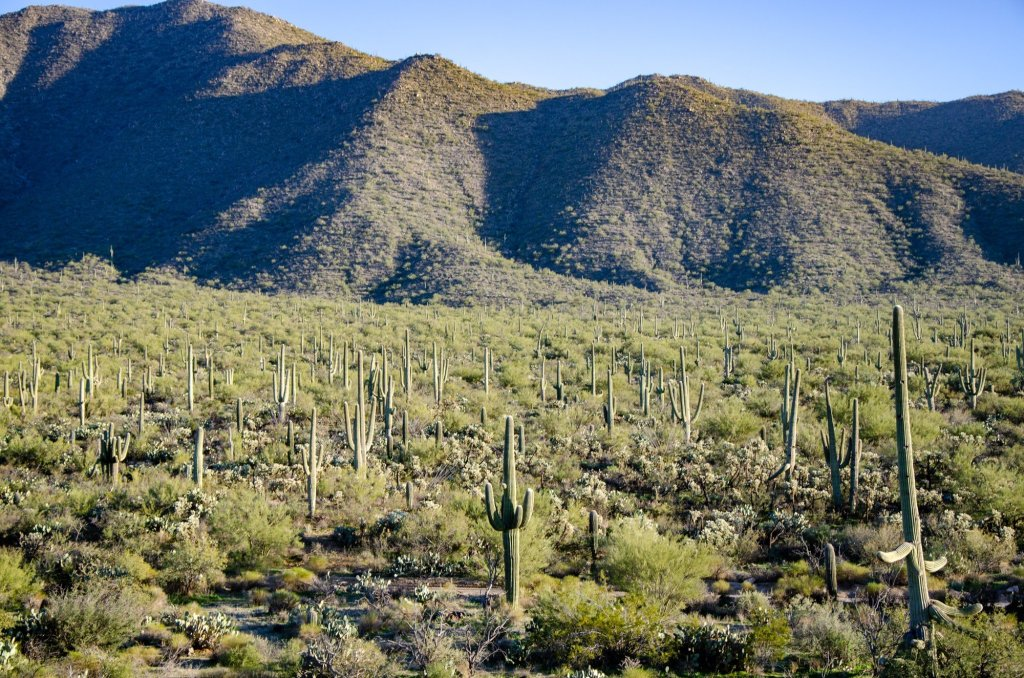 Saguaro forest is shown