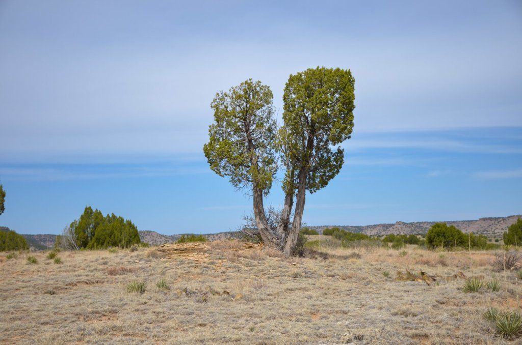 A juniper shrub is shown