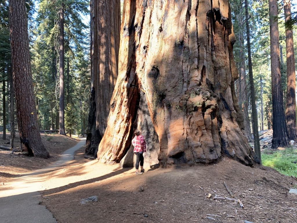 A big tree is shown at Sequoia and Kings Canyon National Parks
