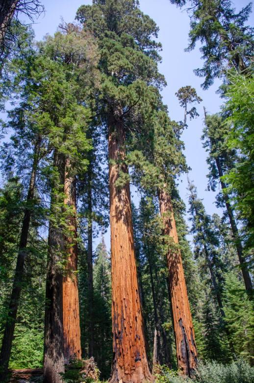 Giant sequoias are shown
