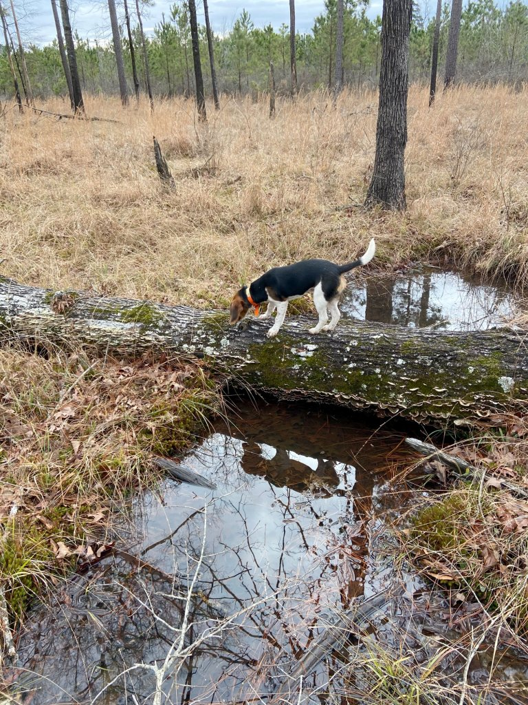 A dog crosses a waterway