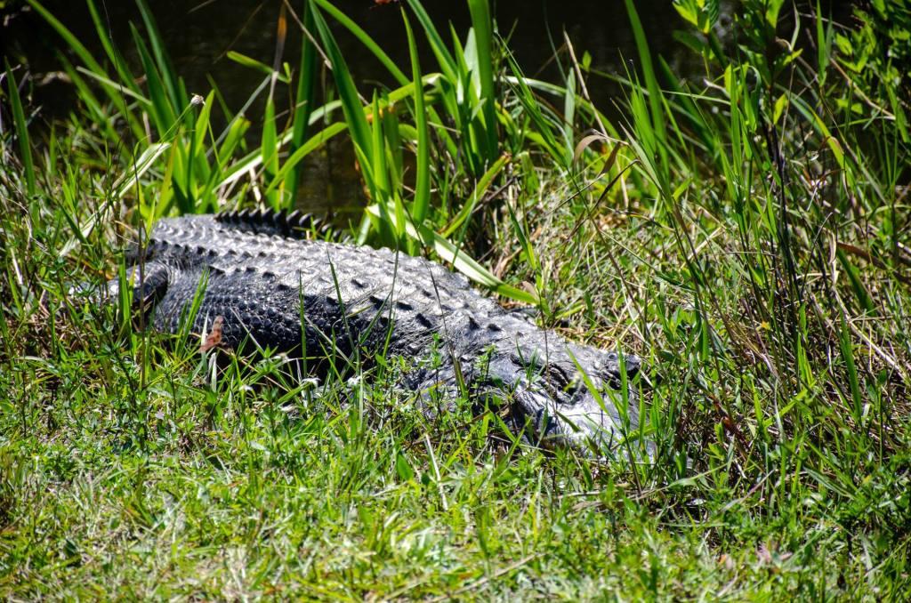 An alligator suns himself along the Shark Valley Trails Loop
