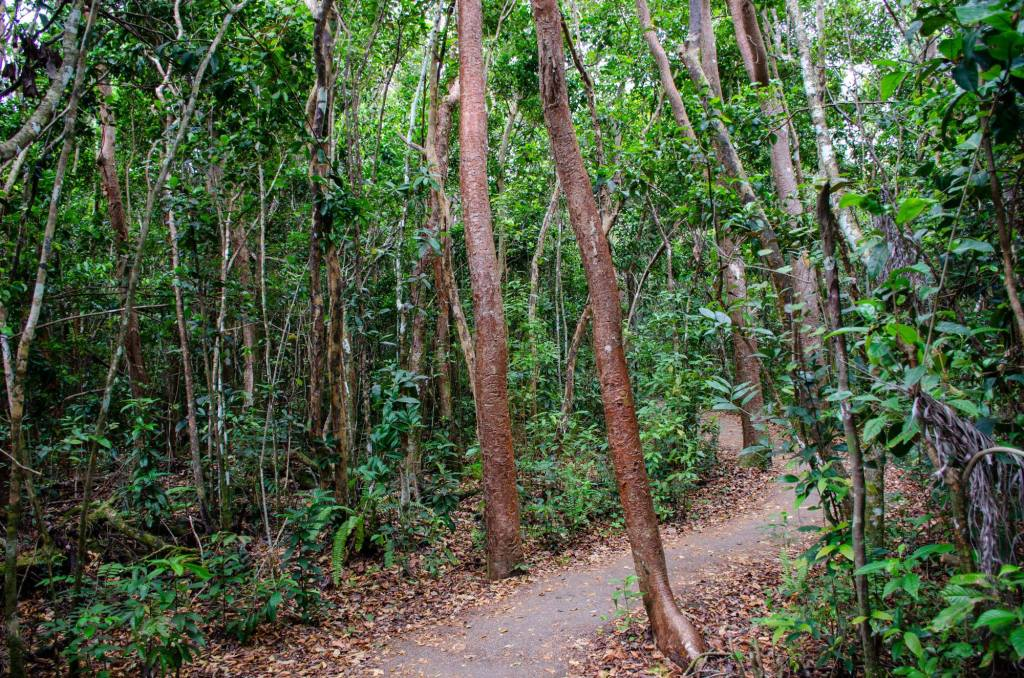 The Gumbo Limbo tree is shown on one of the hiking trails at Everglades National Park