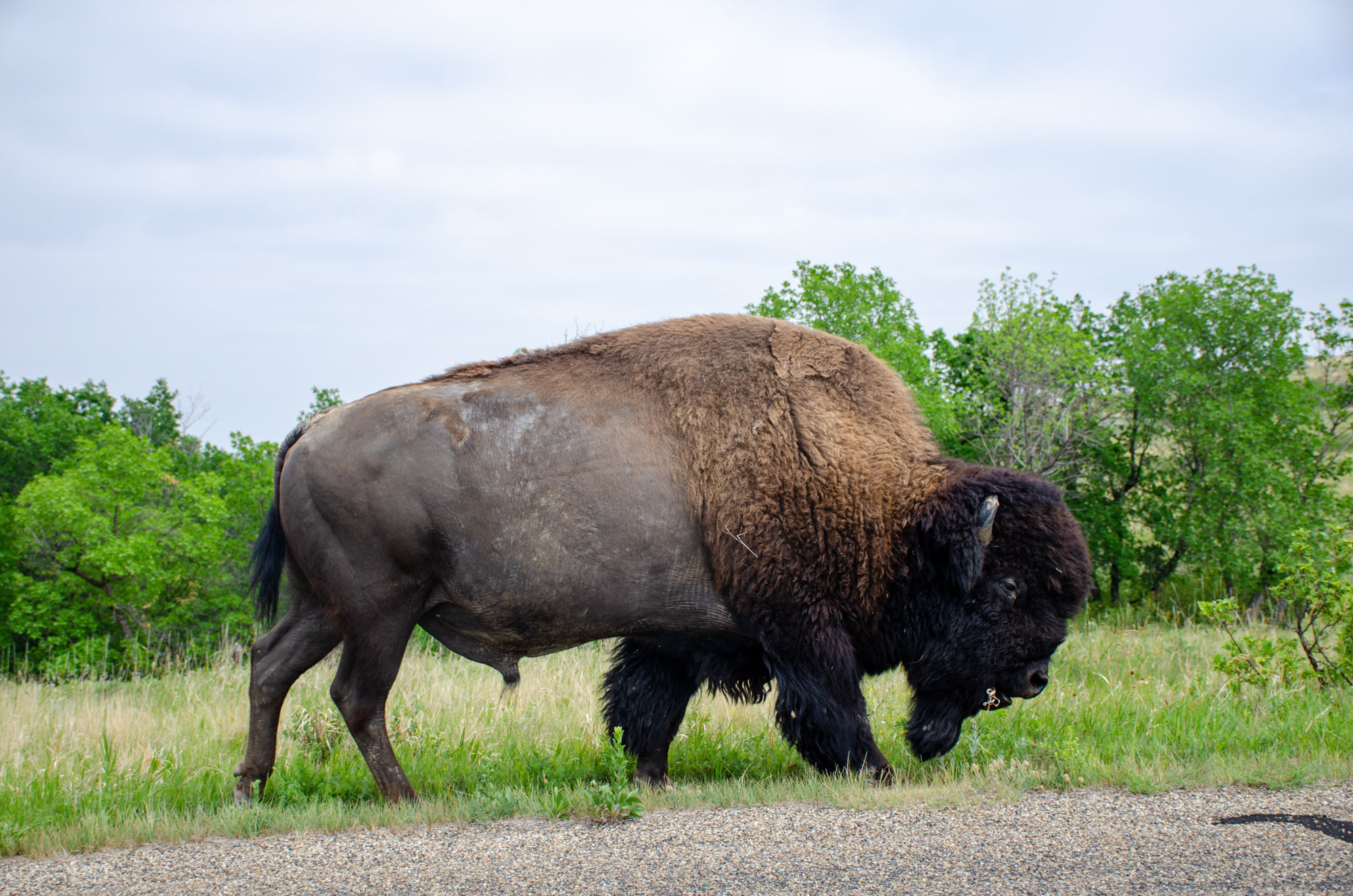 A bull bison is shown