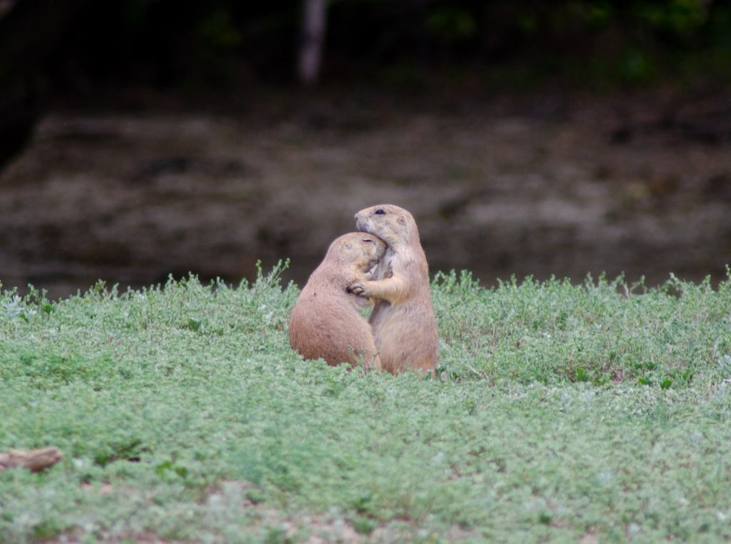 Prairie dogs love on each other at Theodore Roosevelt National Park