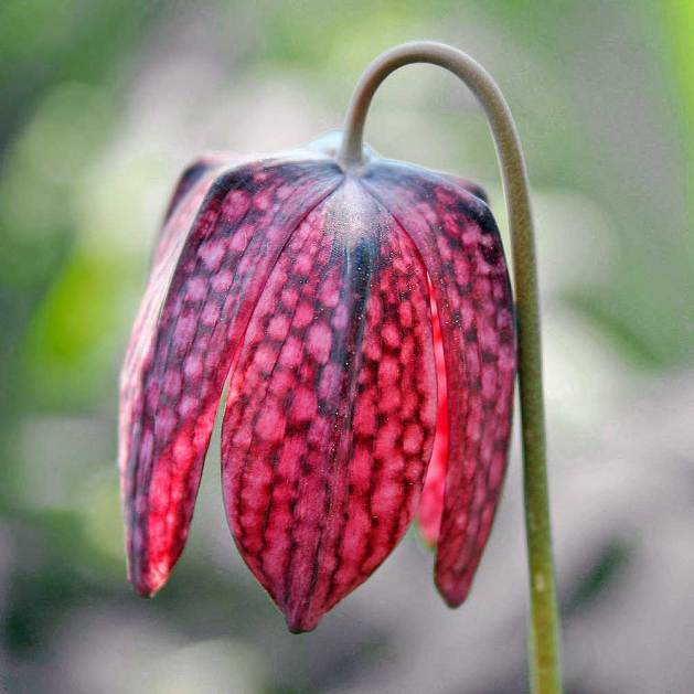 Fritillaria meleagris, image from Wikimedia Commons.