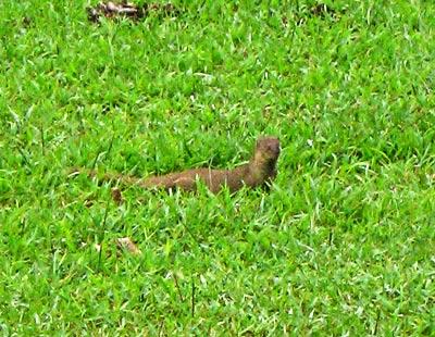 Indian Mongoose on Oahu
