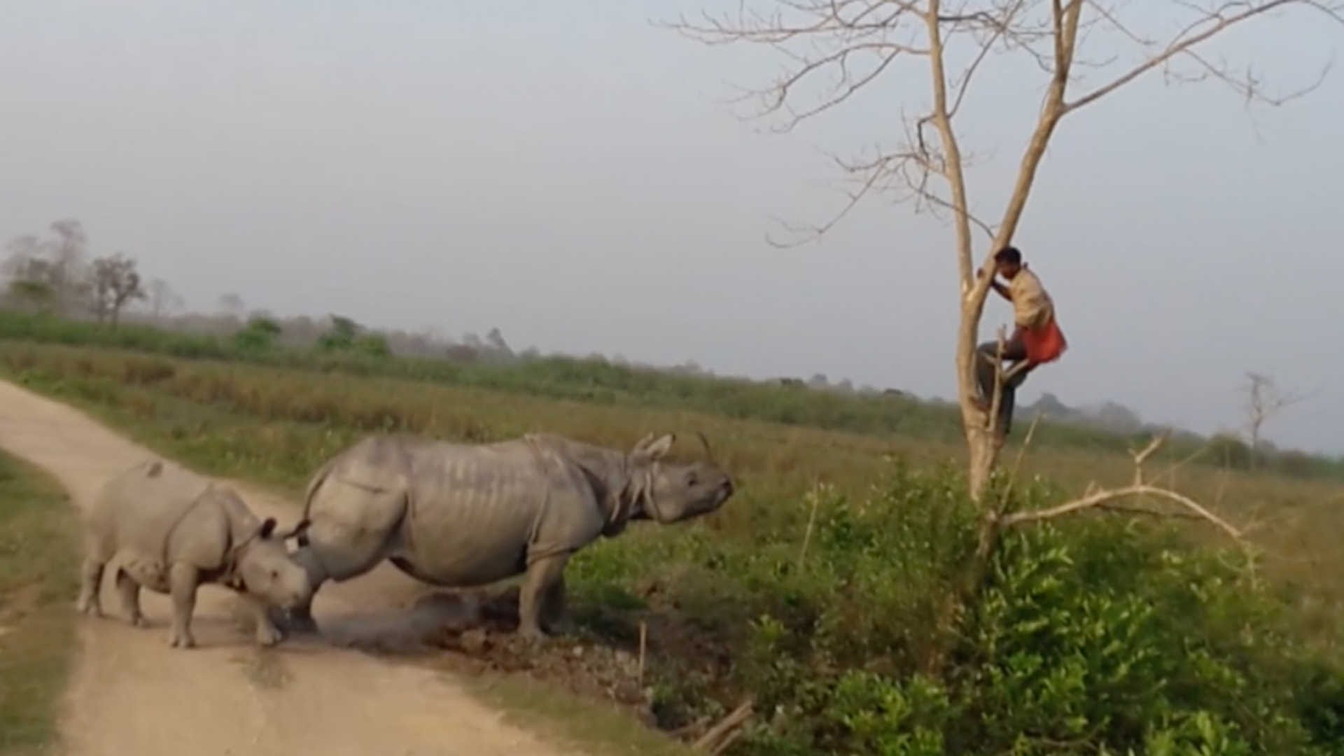 Charging Rhino Chases Elephant Trainer Up A Tree Rtm