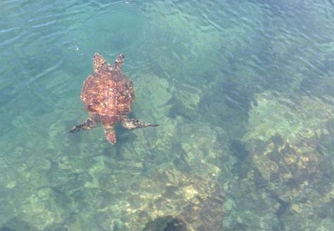 Turtles swimming at Los Tuneles