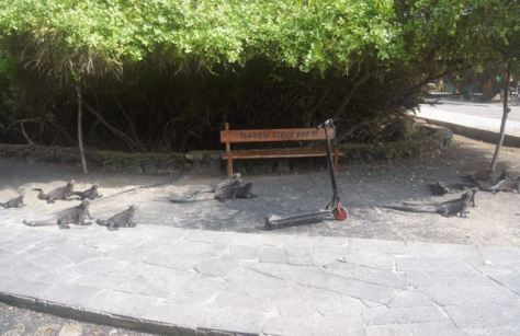 Galapagos Marine Iguanas lined the walkway to the dinghy dock