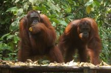 Two female orangutans at feeding station in Tanjung Putting National Park, Kalimanta, Indonesia.