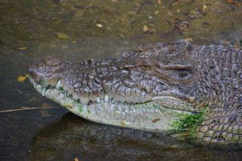 Indonesian Crocodile