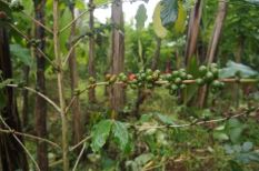 Coffee beans growing at Subak Bali Agro Coffee Plantation.