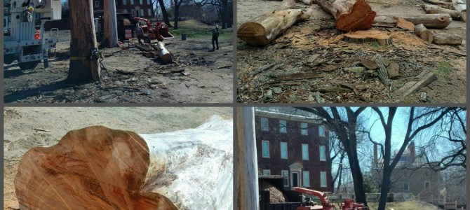 Announcement: The RIHS Removes Four Dead Elm Trees From John Brown House Museum Property
